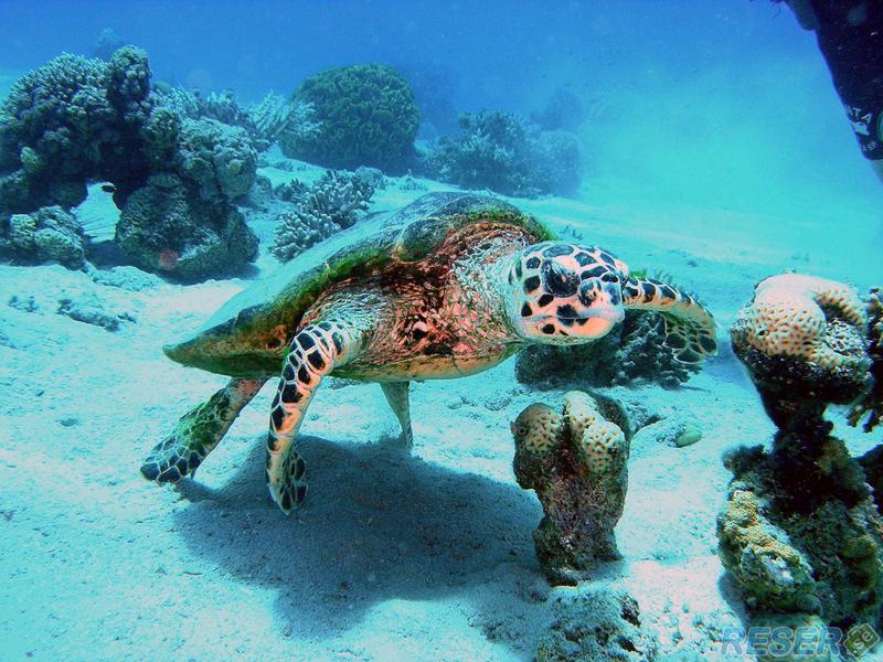 Röda Havet, ett av världens bästa dykvatten kan bjuda på bland ...